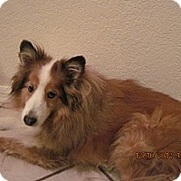 Adopt A Pet :: Beau - apache junction, AZ