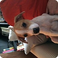 Adopt A Pet :: Baby Chalupa - Marlton, NJ