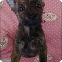 Adopt A Pet :: Spree - Willie Wonka litter - Phoenix, AZ
