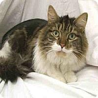 Adopt A Pet :: Oscar (Cool, Calm Cat) - Arlington, VA