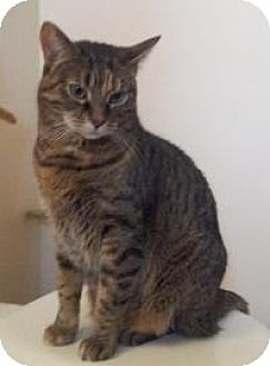 Domestic Shorthair Cat for adoption in Ringwood, Illinois - Bridget