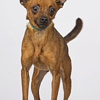 Chihuahua/Terrier (Unknown Type, Small) Mix Dog for adoption in Phoenix, Arizona - Luke