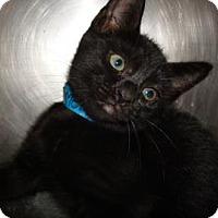 Domestic Shorthair Cat for adoption in Miami, Florida - Mel