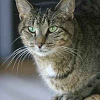 Domestic Shorthair Cat for adoption in North Fort Myers, Florida - Bel
