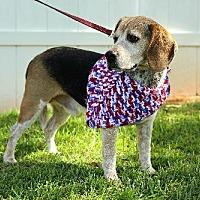 Beagle Dog for adoption in Winder, Georgia - Sundance