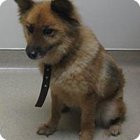 Adopt A Pet :: Foxy - Gary, IN