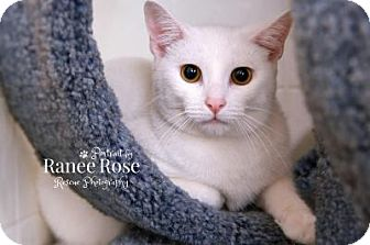 Domestic Shorthair Cat for adoption in Sterling Heights, Michigan - Forest