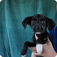 Adopt A Pet :: Aj - Oviedo, FL