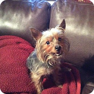 Yorkie, Yorkshire Terrier Dog for adoption in NYC, New York - Cocoa Yorkie