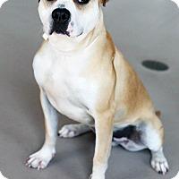 Adopt A Pet :: Bo - Appleton, WI