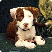 Adopt A Pet :: Cowboy - Belleville, MI