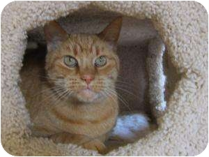 Domestic Shorthair Cat for adoption in Prescott, Arizona - Fred