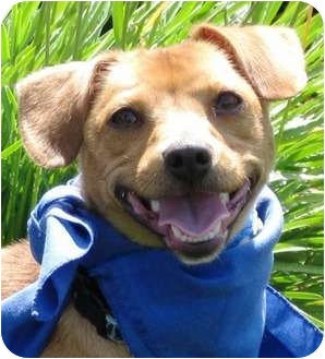 Chihuahua Mix Puppy for adoption in Encinitas, California - Dudley