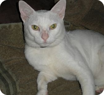 Domestic Shorthair Cat for adoption in Los Angeles, California - Sinclair