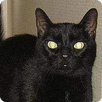 Adopt A Pet :: MONICA -Declawed - Hamilton, NJ