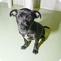 Adopt A Pet :: Baxter - New York, NY