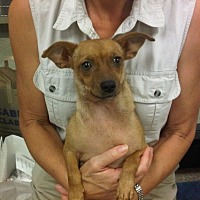 Terrier (Unknown Type, Medium)/Dachshund Mix Dog for adoption in Fresno, California - Kahlua