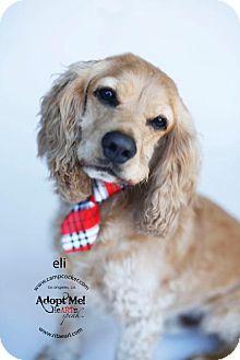 Cocker Spaniel Dog for adoption in Sherman Oaks, California - Eli