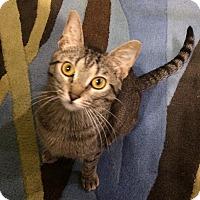 Adopt A Pet :: Hattie - St. Louis, MO