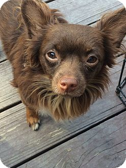 Chihuahua Dog for adoption in Beachwood, Ohio - Davis