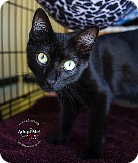 Domestic Shorthair Kitten for adoption in Charlotte, North Carolina - A..  Gavin