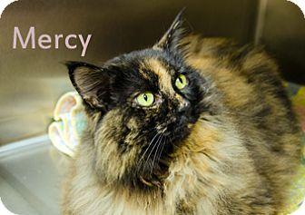 Domestic Longhair Cat for adoption in Hamilton, Montana - Mercy