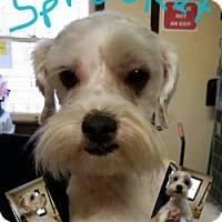 Adopt A Pet :: SPROCKET - Gustine, CA