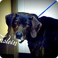 Adopt A Pet :: Eintstein - Defiance, OH