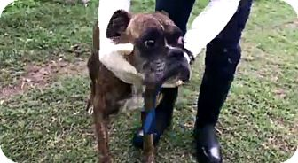 Boxer Dog for adoption in Austin, Texas - Merida