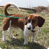 Adopt A Pet :: Beetle Juice - Staunton, VA
