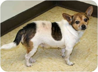 Chihuahua Dog for adoption in Racine, Wisconsin - Secret