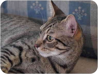 Domestic Shorthair Cat for adoption in Manalapan, New Jersey - Luke