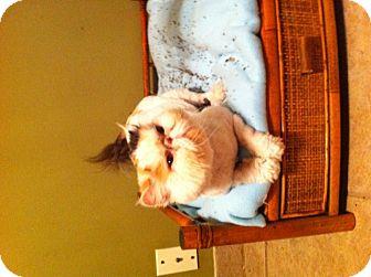 Persian Cat for adoption in Simpsonville, South Carolina - Mariah