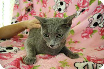 Russian Blue Cat for adoption in Fountain Hills, Arizona - LADY GAGA