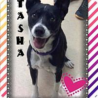 Adopt A Pet :: TASHA - Higley, AZ