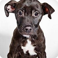 Adopt A Pet :: Joel - New York, NY