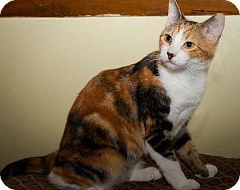 Domestic Mediumhair Kitten for adoption in Plant City, Florida - Molly