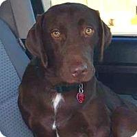 Adopt A Pet :: *Tank - PENDING - Westport, CT