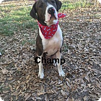 Adopt A Pet :: Champ - Manchester, CT
