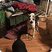 Adopt A Pet :: Juri - Wrightsville, PA