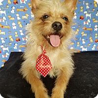 Adopt A Pet :: Tiny Tim - Portland, OR