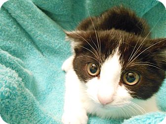 Domestic Mediumhair Kitten for adoption in Fountain Hills, Arizona - OLIVE