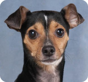 Chihuahua/Miniature Pinscher Mix Dog for adoption in Chicago, Illinois - Macho