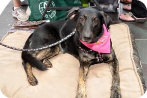 German Shepherd Dog/Labrador Retriever Mix Dog for adoption in Alpharetta, Georgia - Phoenix