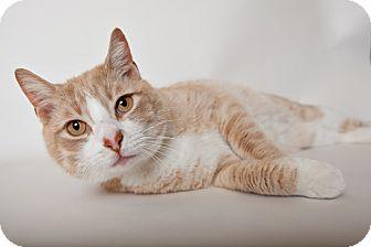 Domestic Shorthair Cat for adoption in Brooklyn, New York - Buddha