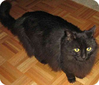 Domestic Longhair Cat for adoption in Schertz, Texas - Tinky