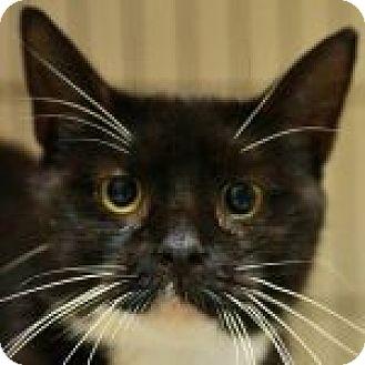 Domestic Shorthair Cat for adoption in Medford, Massachusetts - Valenteen