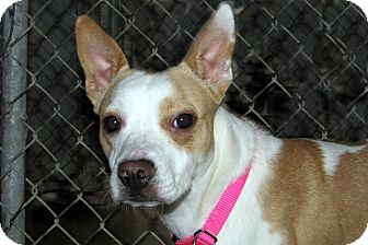 Boxer Mix Puppy for adoption in Ruidoso, New Mexico - Jazmine