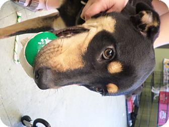 Doberman Pinscher/German Shepherd Dog Mix Dog for adoption in Cleveland, Mississippi - SNAPE