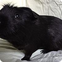 Adopt A Pet :: Critter - Steger, IL